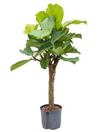 Ficus Lyrata op stam (Hylant)