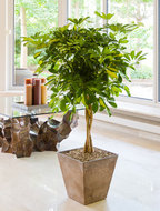 Schefflera Gold Capella in Luxe Artstone pot. (ca 150 cm incl. pot)