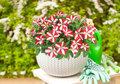 Hangpetunia wit - rood