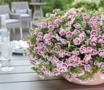Mini Petunia - Calibrachoa dubbelbloemig roze - wit