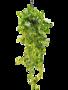 Scindapsus (epipremnum) aureum - Hanger XL (150)