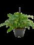 Philodendron natcha - Hanger Ø28