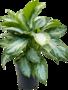 Aglaonema Silver Bay 65 cm (Chinese Evergreen)