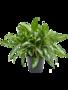 Aglaonema Silver Queen 45 cm (Chinese Evergreen)