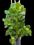 Clusia Rosea 110 cm (Varkensboom)