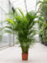 Areca Palm 230 cm (Goudpalm)