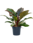 Philodendron Imperial Red 55 cm