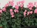 Cyclaam zalm roze