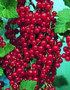 Ribes Rubrum 'Aalbes'