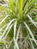 Dracaena marginata Spider 160 cm_