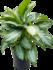 Aglaonema Silver Bay 65 cm (Chinese Evergreen)_