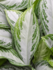 Aglaonema Silver Bay 80 cm (Chinese Evergreen)_