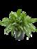 Aglaonema Silver Queen 45 cm (Chinese Evergreen)_