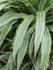 Dracaena Deremensis 140 cm - 3 stam (Hydroplant)_