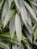 Ficus Amstel King op stam 130 cm_
