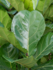 Ficus Lyrata (Tabaksplant) vertakt 160 cm_