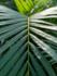 Areca Palm 120 cm (Goudpalm)_