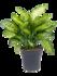 Dieffenbachia maroba 80 cm_
