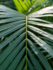 Areca Palm Dypsis 140 cm (Hydroplant)_